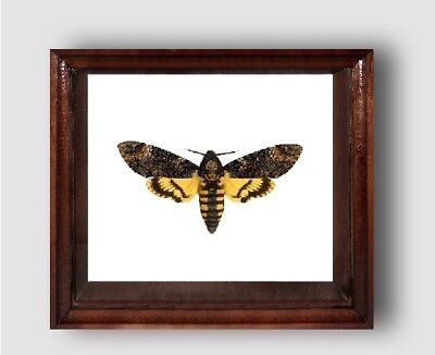 Real framed DEATH'S HEAD Moth in the movie silence of the lambs!!