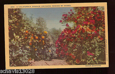 California Orange Orchard Fenced by Roses Near Banning Vintage Postcard 1943