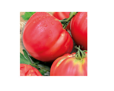30x Tomato Pink Brandywine - Old Types Seeds Vegetables Garden KS449