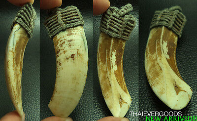 Ancient Boar Fang Power Protect Thai Amulet