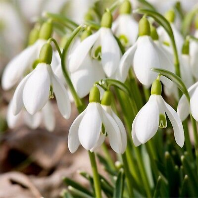 100 x Single Snowdrops Bulbs In The Green - Spring Flowering - Galanthus Nivalis