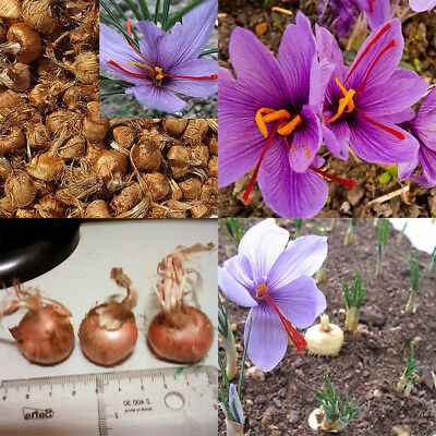 8Pcs Saffron Bulbs Crocus Sativus Flower Seeds Easy to Grow Garden Plant Top