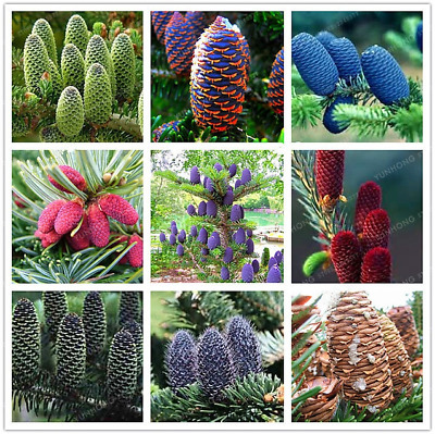 Korean Fir Abies Koreana Bonsai Flowers Plants Garden Purple Tree 50 Pcs Seeds N