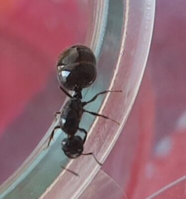 Crematogaster auberti mated queen With Eggs (starter kit)