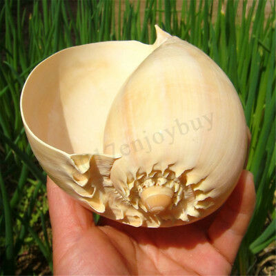 Extra Large Melon Shells Conch Natural Seashell 19-20cm Beach Home Decoration 1