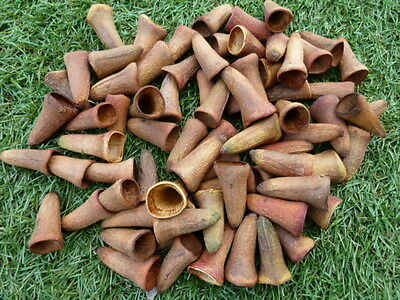 75 Platypus Gum Nuts ~ Ideal as Gnome Hats or witch nails :) with Craft