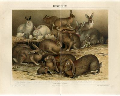 1895 RABBITS RABBIT BREEDS Antique Chromolithograph Print