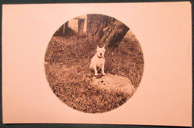 1910s White Pit Bull Terrier Dog in Yard RPPC Photo Post Card