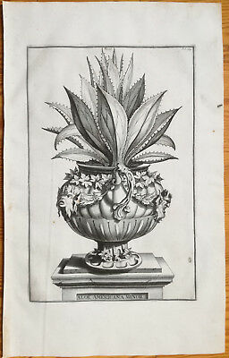 Munting Rare Large Botanical Print Aloe americana minor - 1696
