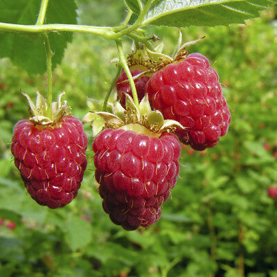First Year Fruiting Raspberry 'Polka' x 12 short canes