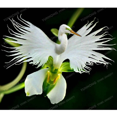 50 Pcs Seeds Japanese Radiata Bonsai White Egret Orchid Flowers Garden Home NEW