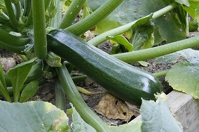 25 Black Beauty Zucchini Squash Seeds 2019 ( Non-Gmo Free Shipping! )