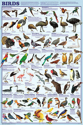 (LAMINATED) Bird Orders POSTER (61x91cm) Educational Wall Chart Species Diagram