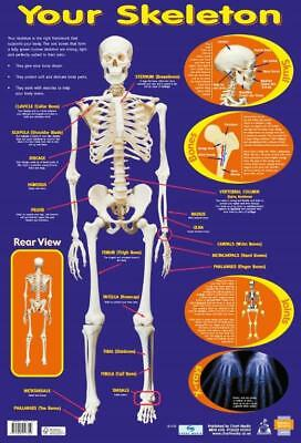 Human Skeleton Poster Educational A2 size