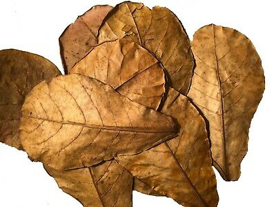 2 Indian Almond Leaf Tea Bags treats 10g-20g Free Ship