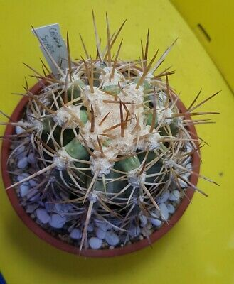 Copiapoa Solaris from seed VERY OLD AND BIG PLANT OWN ROOTS aztekium ariocarpus