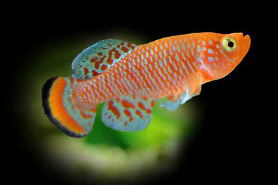 Killifish 30 Eggs Nothobranchius Rachovii Beira 98 Egg Hatching Tropical Fish