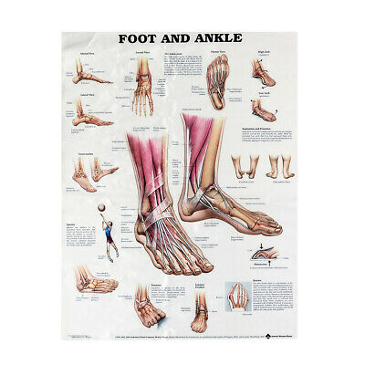Anatomy of Foot and Ankle Poster Anatomical Chart Human Body Educational Home De