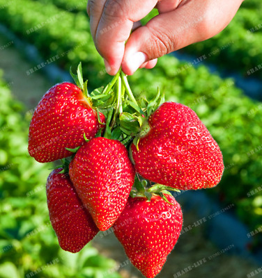 100 PCS Seeds Giant Strawberry Bonsai Big Sweet Berry Fruit Pot Plants Garden V