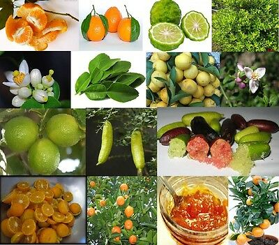 Rare & Unusual Citrus fruit tree seeds Yummy & Exotic, You choose variety - Seed