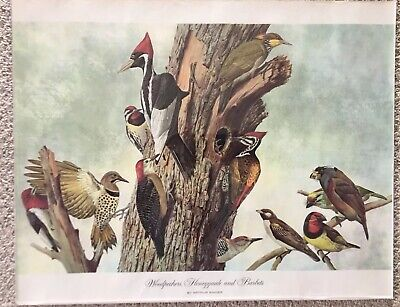 Vintage Arthur Singer 1961 Bird Print with Woodpeckers, Honeyguides, and Barbets
