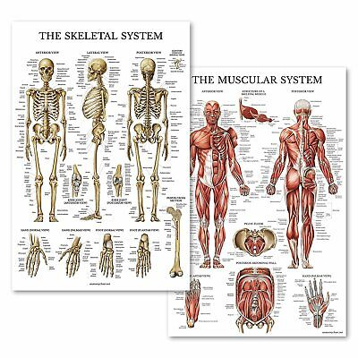 Palace Learning Muscular & Skeletal System Anatomical Poster Set - Laminated 2 C