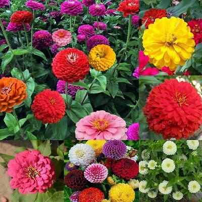 200 MIXED COLORS CALIFORNIA GIANT ZINNIA Elegans Flower Seeds Super