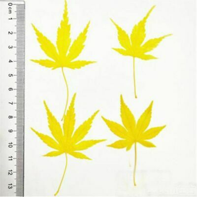 Dried Plant Pressed Dyed Yellow Maple Leaf Flower For Bookmark Invitation Cards
