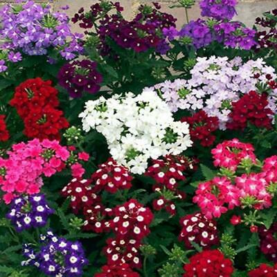 Verbena hybrida Ideal Florists Mix Appx 250 seeds