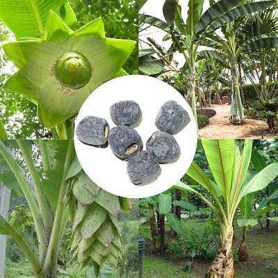 10 Seeds Ensete Glaucum Seeds Snow Banana Garden MUSA Tree Massive Flower
