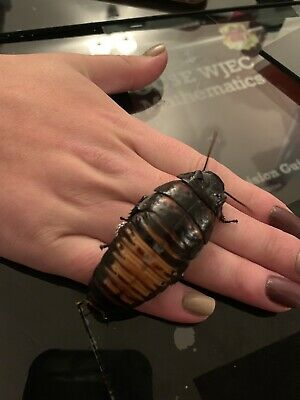 X5 Adult Giant Madagascan Hissing Cockroach