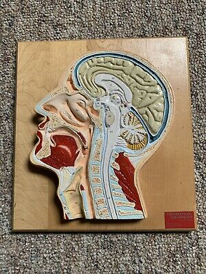 Vintage Denoyer Geppert Medical Anatomical Head / Face Anatomy Median Section