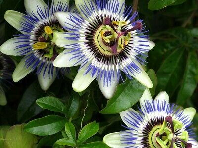 100 Passion Flower Vine Seeds ~ Passiflora Caerulea ~ Maypop