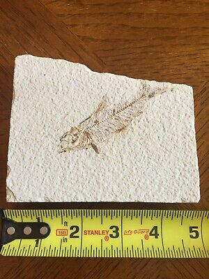 Fossil Fish Green River Formation Wyoming - Eocene approx. 50 million years old