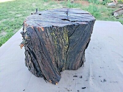 Large CHUNK Live Edge Hard Wood Catclaw Acacia Turning Blank Block Lumber 139