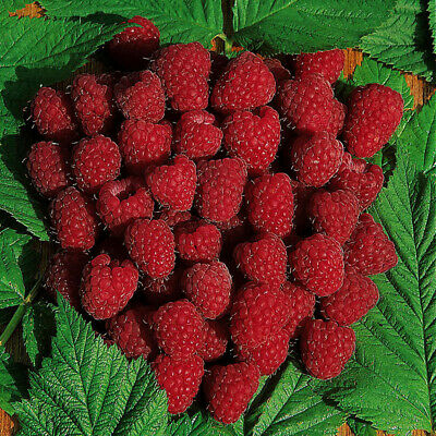 Premium Raspberry Autumn Bliss Fruit Plants - Pack of 5 Canes to Grow Your Own