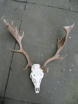 Fallow deer skull trophy shouldermount Hide Skin buck Hunting  Antlers