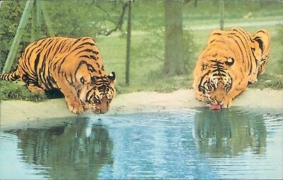 Tigers drinking west midlands safari park