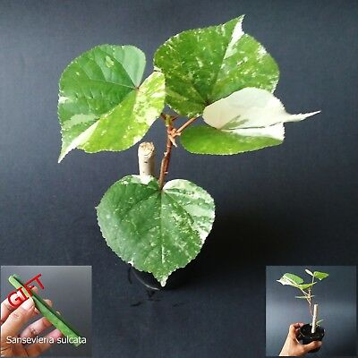 Mahoe Variegated Sea Hibiscus Tropical Tree Plant Color Leaf Yellow