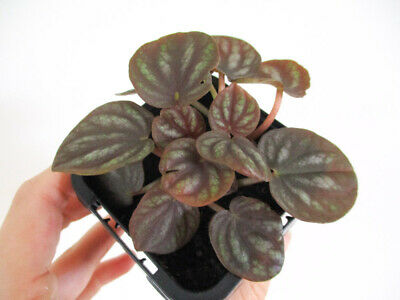 Peperomia Peppermill Indoor Tropical Houseplant Small Terrarium