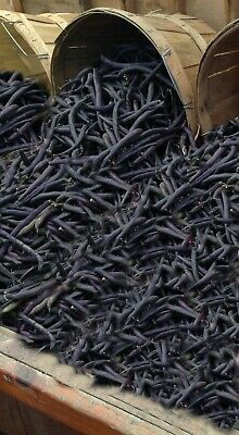 Royalty Purple Pod Bush Bean SEEDS Flavorful Fresh Canned Frozen High Yields