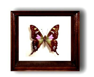 Graphium weiskei in the frame of expensive breed of real wood