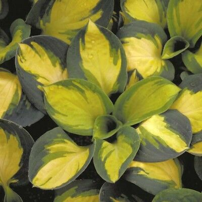 HOSTA Popcorn Bare ROOT Large Two Year Old Plant