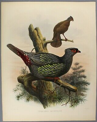 c1870/2 | Blood Pheasant | lovely h/c plate from Monograph Phasianidae by Elliot