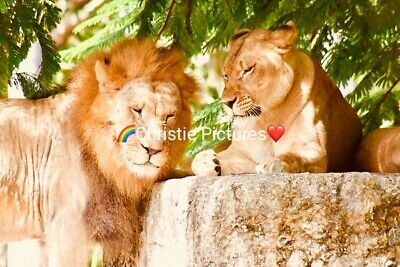 Digital Picture Image Photo Wallpaper JPG Desktop Screensaver Beautiful Lions
