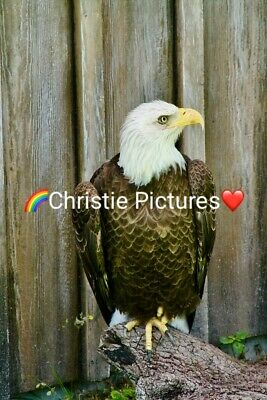 Digital Picture Image Photo Wallpaper JPG Desktop Screensaver Beautiful Eagle