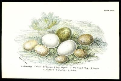 1896 Stunning Original Antique Colour Print - BIRD EGGS - HOOPOE BEE EATER (86)