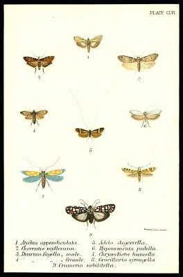 1896 Stunning Original Antique Colour Print - MOTH BUTTERFLY SPECIMEN (112)