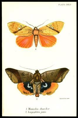 1896 Stunning Original Antique Colour Print - LAGOPTERA JUNO - BUTTERFLY (100)