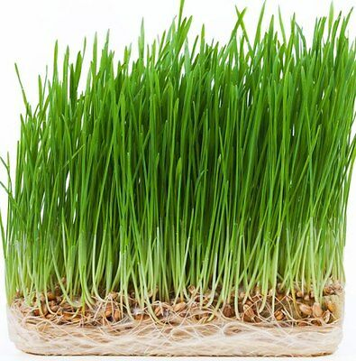 Organic Cat Barley Grass  💚 Fully grown in 14 days. Pets love😻BUY 2 GET 2 FREE